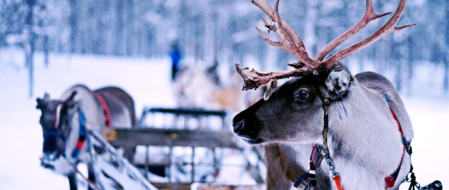 live reindeer during christmas time at village green